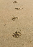Dogs footprints Stock Photos