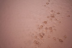 Dogs footprints in the sand royalty free stock image