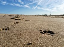 Dogs footprints on the sand of the Brighton Beach stock image