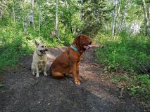 Dogs in forest. Dogs sitting on trail in forest Stock Image