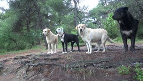 Dogs in the Forest. A small herd of dogs posing in the forest stock video