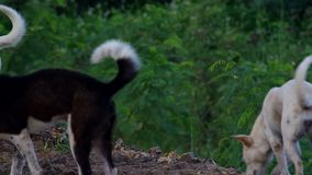 Dogs forming a group and walking together. On the pile of soil stock footage
