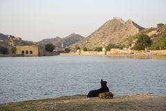 Dogs in fornt of amber fort Royalty Free Stock Photography