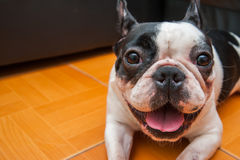 Dogs French Bulldogs /Focus selection Stock Photo