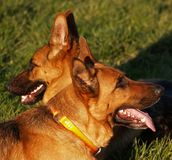 Dogs / Friends Stock Photography