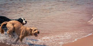 Dogs frolicking at the beach. Two dogs running and splashing in the Atlantic Ocean Royalty Free Stock Images