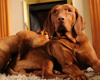 Dogs in front of the fire place. Brown Hungarian Vizsla dogs sitting in front of the fire place stock images