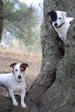 dogs gammal tree två för oaken fotografering för bildbyråer