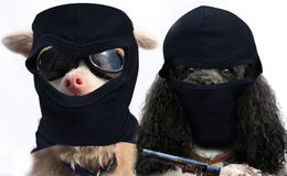Dogs gangster couple. This is a robbery! Give us the food. Dogs gangster couple with balaclava and pistol stock photo