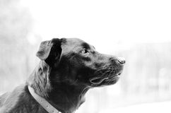 A dogs gaze. A dog, named Rocko, gazing in the distance Stock Image