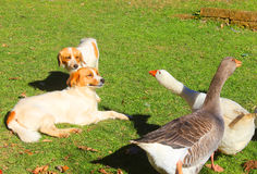 Dogs and geese. In the grass Stock Photo