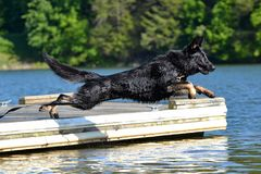 Dogs 82 Stock Images