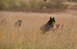 Dogs 00017. German Shepherd Dogs running in long grass hayfield with ball Royalty Free Stock Image
