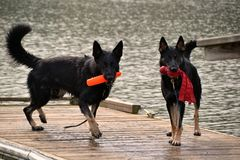 Dogs 75 Royalty Free Stock Images
