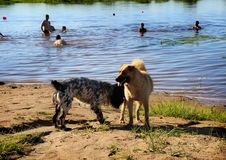 Dogs Get To Know Each Other. Klyazma River. Vladimir Region. Russia. Royalty Free Stock Photo