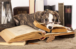 Dogs in glasses with books royalty free stock photo