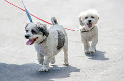 Dogs going for a walk Royalty Free Stock Photo