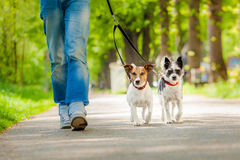 Dogs going for a walk. Owner and two dogs going for a walk Stock Photography