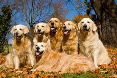Dogs GR Golden Retrievers. In field of Autumn leaves, tongues wagging stock photo