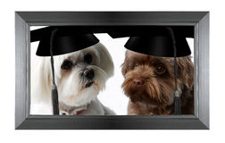 Dogs with graduation cap Stock Photo