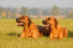 Dogs in grass Royalty Free Stock Photos
