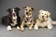 3 dogs Stock Image