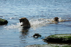 Dogs. Great fun in the sea two dogs, water, beach, sand, summer, vacation, holiday, free weekend vacation with family and dogs on the sea, the sound of waves Royalty Free Stock Image