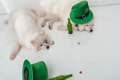Dogs with green hats and beer bottles. Funny fluffy dogs with green hats lying near empty beer bottles stock photo