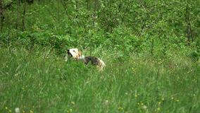 Dogs on the green meadow. Two dogs on the green meadow, playing and searching in the grass stock footage
