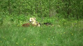 Dogs on the green meadow. Two dogs on the green meadow, playing and searching in the grass stock video footage