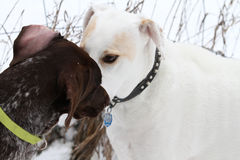 Dogs greeting Stock Photography