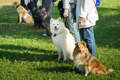 Dogs. A group of dogs sitting near their trainers in a dog school stock photography