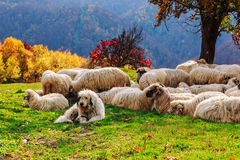 Dogs guard the sheep on the mountain pasture Stock Photo