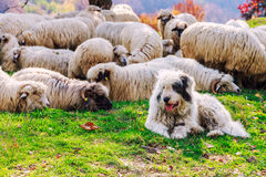 Dogs guard the sheep on the mountain pasture Stock Images