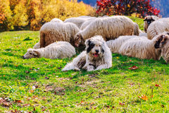 Dogs guard the sheep on the mountain pasture Royalty Free Stock Images