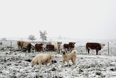 Dogs guarding the cattle during a snow storm stock images