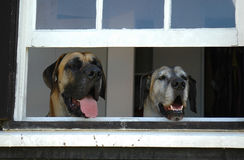 Dogs guarding house. Two faces of Great Dane guard dogs looking out of a window of a farm house to watch what is going on outside Royalty Free Stock Photos
