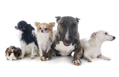 Dogs and guinea pig Stock Photography