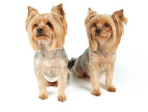 Dogs with haircut Stock Photography