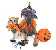 Dogs and halloween stock photo