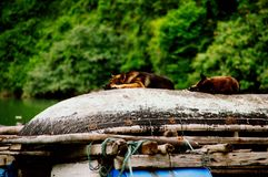 Dogs in halong bay vietnam royalty free stock photos