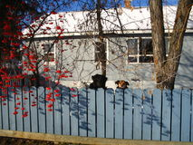 Dogs hanging over the fence. Digital landscape Royalty Free Stock Photos