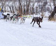 The dogs in harness pulling a sleigh competitions Stock Photo