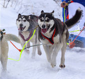 The dogs in harness pulling a sleigh competitions Royalty Free Stock Photo