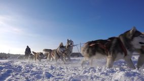Dogs harnessed by dogs breed Husky pull sled with people, slow motion stock footage