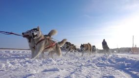 Dogs harnessed by dogs breed Husky pull sled with people, slow motion stock video