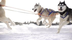Dogs harnessed by dogs breed Husky pull sled with people, slow motion stock video footage