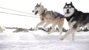 Dogs harnessed by dogs breed Husky pull sled with people, slow motion.  stock video