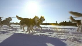 Dogs harnessed by dogs breed Husky pull sled with people, slow motion, Video loop stock video