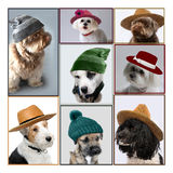 Dogs with hats Stock Photo